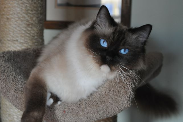 Ragdoll cat lancaster pa